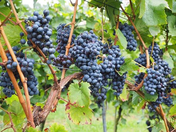 grappe-raisin-vin-vigne